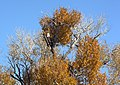 Bald eagle in narrowleaf cottonwood (14662477946).jpg