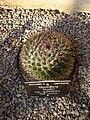 Ball cactus - Mammillaria heyderi var. gummifera.jpg