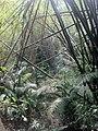Bamboo at lawachara 2.jpg