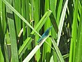 Banded Demoiselle (damselfly) on reeds near River Medway - geograph.org.uk - 1360062.jpg