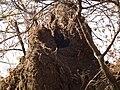 Banded Mangoose Mungos mungo in Tanzania 3454 Nevit.jpg