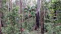 Bangalow Palm near Bangalow (15932150129).jpg