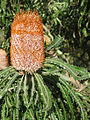 Banksia prionotes OIC late flower 2.jpg