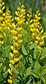 Baptisia 'Screaming Yellow' Flowers.JPG