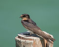 Barn Swallow Thailand.jpg