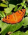 Baronet Euthalia nais UP by Dr. Raju Kasambe DSCN9440 (2).jpg