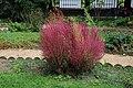 Bassia scoparia in Jardin des Plantes 001.jpg