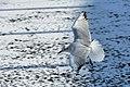 Bassin des Morts gelé, 2012-02-11, mouette rieuse 06.jpg