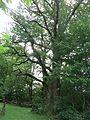 Baum Lienz 1.jpg