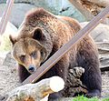 Bear (14055956834).jpg