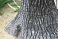 Beaucarnea recurvata 19zz.jpg