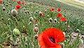 Beautiful poppies.jpg