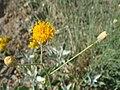 Bebbia-juncea-20080405.JPG