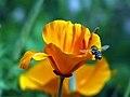 Bee at Tucson Botanical Gardens.jpg