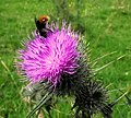 Bee on a thistle - geograph.org.uk - 2522002.jpg