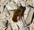 Beefly Bombyliidae. Villa cf hottentotta (32946195486).jpg