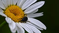 Beetle (Coleoptera) on Ox-eye Daisy (Leucanthemum vulgare) - London, Ontario.jpg