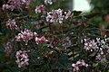 Begonia metallica GotBot 2015 001.jpg