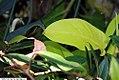 Begonia rhopalocarpa 1zz.jpg