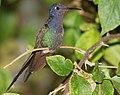 Beija Flo Tesoura Swallow Tailed Hummingbird Eupetomena Macroura (43780752).jpeg