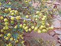 Berberis haematocarpa2.jpg
