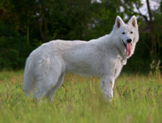 Berger Blanc Suisse.png