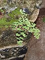 Bermuda Maidenhair Fern-02.JPG