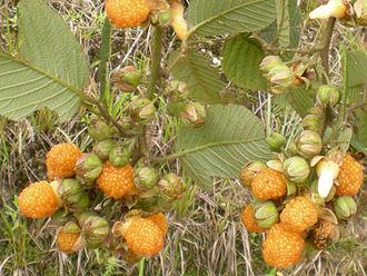 Rubus ellipticus - Image: Berry nepal