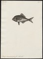 Beryx decadactylus - - Print - Iconographia Zoologica - Special Collections University of Amsterdam - UBA01 IZ12900025.tif