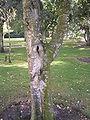Betula populifolia 01-10-2005 14.47.42.JPG
