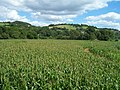 Bickleigh , The Maze of Maize - geograph.org.uk - 1224827.jpg