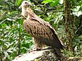 Bird Himalayan Griffon IMG 0438 07.jpg