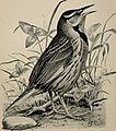 Birdcraft - a field book of two hundred song, game, and water birds (1897) (14749362614).jpg