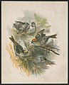 Birds on pine boughs) - H.W. Herrick LCCN2016652364.jpg