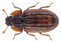 Bitoma cf. sharpi (Reitt.) (21799292952).png