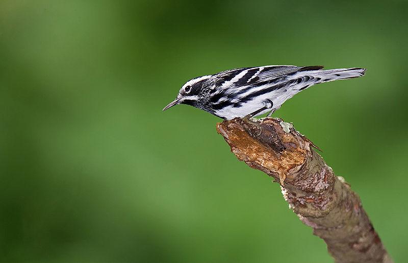 File:Black-and-white-warbler-8.jpg