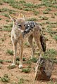 Black-backed jackal, Canis mesomelas, at Pilanesberg National Park, South Afric (17126207968).jpg