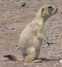 Black-tailed Prairie Dog-Wichita Mountain Wildlife Refuge-1.jpg