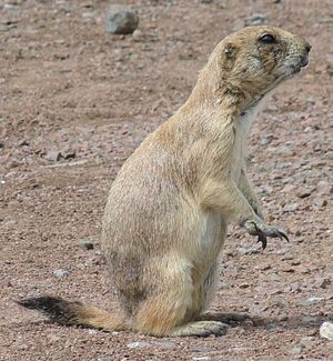 Black-tailed prairie dog - At Wichita Mountains Wildlife Refuge