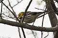 Black-throated Green Warbler ( ?? first winter male ) Mission TX 2018-03-01 08-19-44 (40581646162).jpg