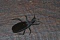 Black Assassin Bug (Tribelocephalinae,Reduviidae) (8539384486).jpg