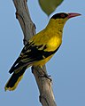 Black Naped Oriole (6935459331) (cropped).jpg