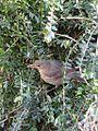 Blackbird female (4426562215).jpg