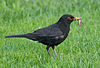 Blackbird in Madrid (Spain) 28.jpg