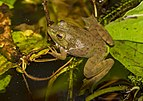 Blacklick Woods - Lithobates catesbeianus 2.jpg