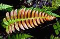 Blechnum NZ Fern. (15374284482).jpg