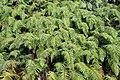Blechnum novae-zelandiae kz12.jpg