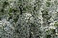 Blommande buske (8757825295).jpg