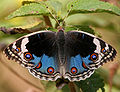 Blue Pansy (Junonia orithya) in Hyderabad, AP W2 IMG 1365.jpg