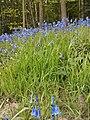 Bluebell swithland.jpg